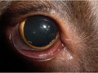Reto Veterinario: Oftalmología