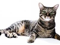 Obstrucción urinaria inferior en los felinos