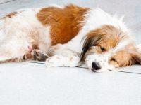 Clasificación de la epilepsia en perros y gatos ¡Actualización 2015!