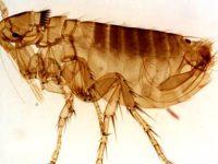 El control de pulgas está cambiando ¿Usted también?