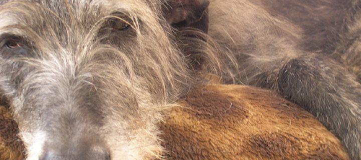 Envejecimiento cerebral en los perros