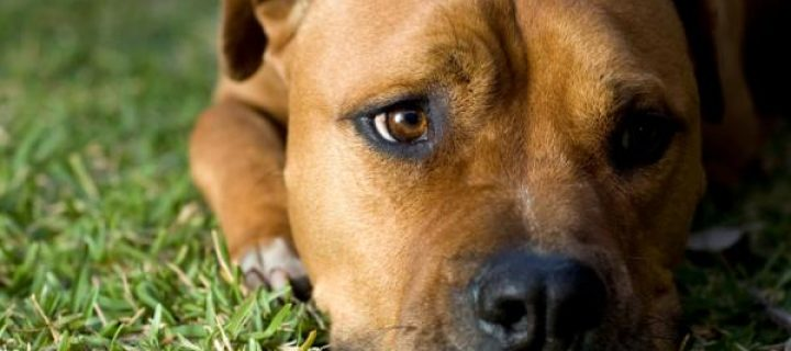Se descubre gen que causa la enfermedad neurodegenerativa canina