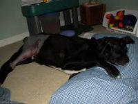 Uso de la Aspirina y otros AINE para aliviar el dolor en los perros