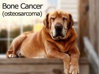 Perros ayudan a investigadores a mejorar su comprensión sobre el cáncer de hueso