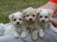Los cachorros separados prematuramente de sus camadas pueden desarrollar problemas de comportamiento en la adultez