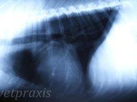 Reto Veterinario: Cardiología Canina