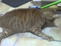 Comprensión actual de la epilepsia felina, pruebas de diagnóstico y tratamiento