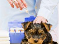 El Virus de Moquillo Canino ¿Un viejo conocido?
