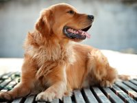 Reto Veterinario: Golden Retriever