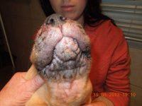Reto Veterinario: Beagle de 3 meses