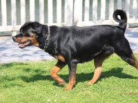 Reto veterinario: Rottweiler con dificultades respiratorias