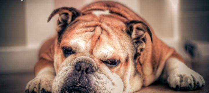 Reto Veterinario: Bulldog inglés con lesiones pustulares