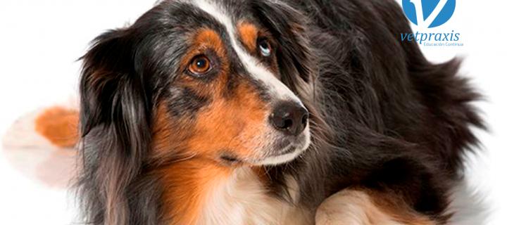 Reto Veterinario: Hembra canina con molestia a la marcha.