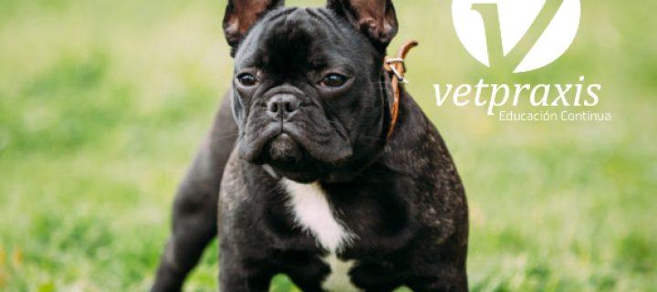 Reto Veterinario: Bulldog Francés con lagrimeo, secreción amarillenta …