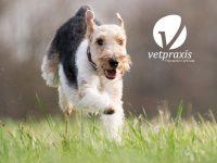 Reto Veterinario: Canino con distress respiratorio