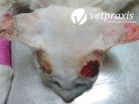 Reto Veterinario: Felino con lesiones cutáneas ulceradas