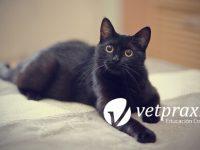 Reto Veterinario: Gato en consulta para esterilizar